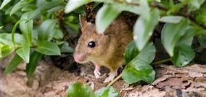 Piege A Rat Castorama : se d barrasser des mulots dans le jardin taupier sur la france ~ Voncanada.com Idées de Décoration