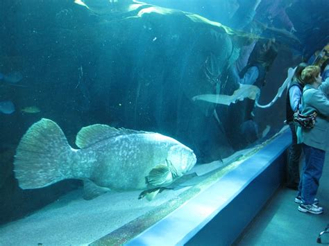 grouper vs giant attack diver january divers apparently known battle money re they