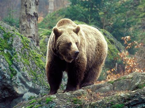 Медведь описание повадки что есть где живет видео фото