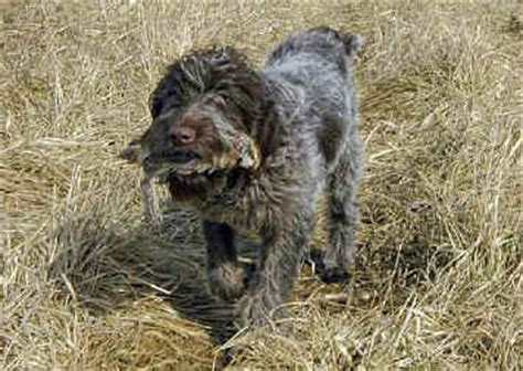 wirehaired pointing griffon shed rock run wirehaired pointing griffons