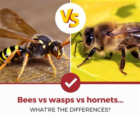 bees  wasps  hornets   pictures pest