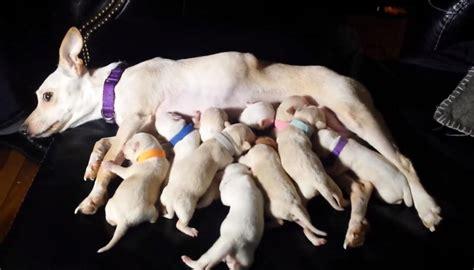chihuahua  birth   puppies possibly making