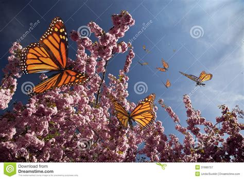Cherry Blossoms And Butterflies Royalty Free Stock