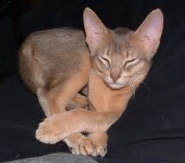abyssinian cat animalz abyssinian cats new pictures 2012