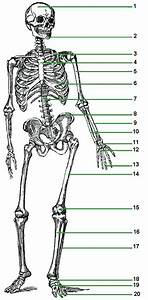 Skeletal System   Chapter 5