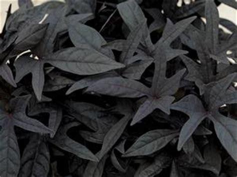 ipomoea batatas sidekick black lucas greenhouses