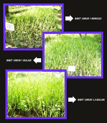 mandiri flower petani rumput vetiver akar wangi dan jual rumput vetiver akar wangi rumput