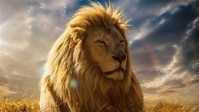 Lion Screensavers King Mane Savannah Beasts