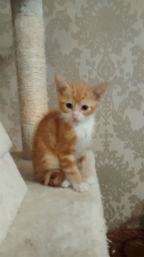 Ragdoll Mix by Ragdoll Mix Kitten Chester Cheshire Pets4homes