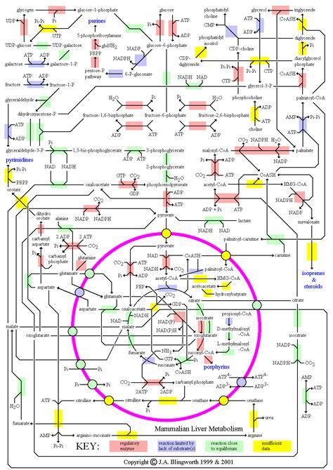 metabolic map hnfe 3025 metabolic nutrition pinterest