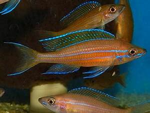 Buy Live Blue Neon Paracyprichromis Nigripinnis