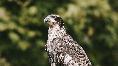 Hawk Predator Bird Wildlife 1080p Hdtv Fhd