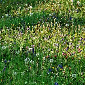 Buy Wildflower Plug Plant Collection Wildflowers For A Stronger Colour Sunny Meadow Display   U00a399