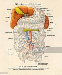 Digestive System Stock Illustrations And Cartoons