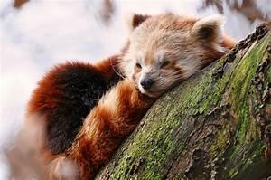 redpanda-sleeping - China Expat - Chinese Cultural ...
