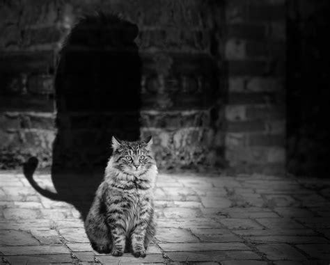 Cat Lion Shadow · Free Photo On Pixabay