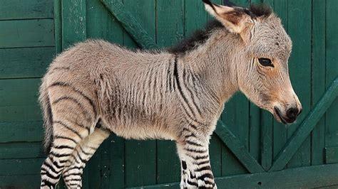 animals donkeys horses donkey zebra ponies related species zebras zonkeys zonkey hybrid must italy baby animal italian horse rare cute