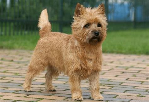 cairn terrier non shedding 100 cairn terrier non shedding small dogs best 25