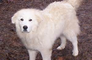 great pyrenees dog puppy dog gallery
