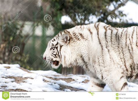 angry white tiger stock image image