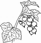 Coloring Berry Holly Berries Printable Getcolorings Unusual Inspiration sketch template