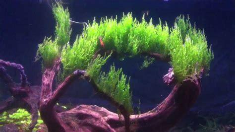 moos für aquarium moss aquarium moss