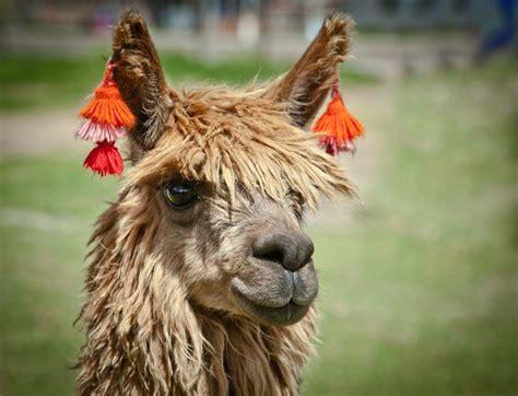 love  cute ear decorations alpaca  peru photo