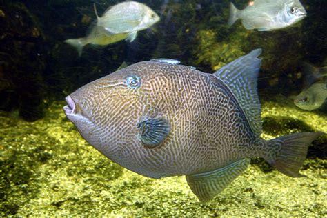 balistes capriscus aquarium de vannes aquarium de vannes