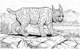 Lynx Coloring Pages Cat Printable Bobcat Cats Library Stalking Animals Footprint Cliparts Canadian Designlooter Results Don Clipart Pacing 68kb sketch template