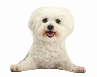 Poodle Clipart Transparent