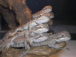Bearded Dragon Care | Bearded dragon care sheet and ...