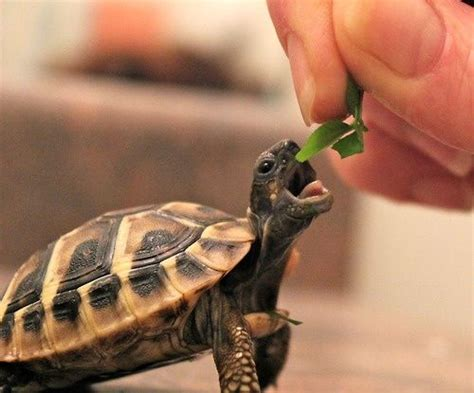 tortoise eating leaf luvbat