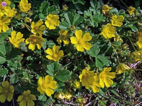 Spring Cinquefoil, Potentilla verna - Flowers - NatureGate