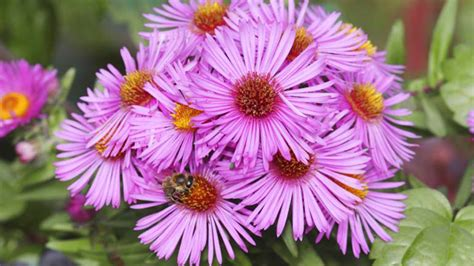 Aster: Die Vielseitige Blume Pflanzen Und Pflegen