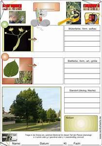 Linde Baum Steckbrief : steckbrief linde ~ Orissabook.com Haus und Dekorationen