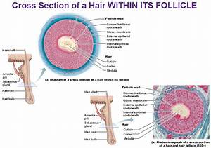 Hair Diagram Cuticle Cortex Medulla