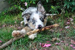 Blue Merle Tricolor Border Collie puppy :) | The one and ...