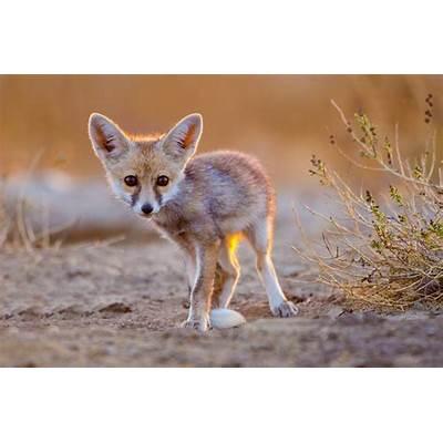 Desert Fox pup by Rajesh Shah / 500px