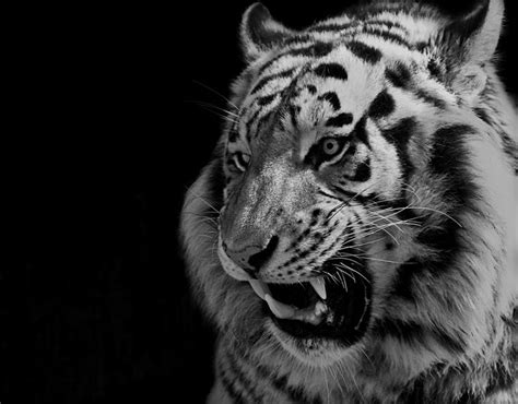 Tiger Photography Google Search Animals
