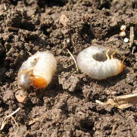 white grubs in vegetable garden how to deal with common lawn problems missouri botanical garden grubs and lawn