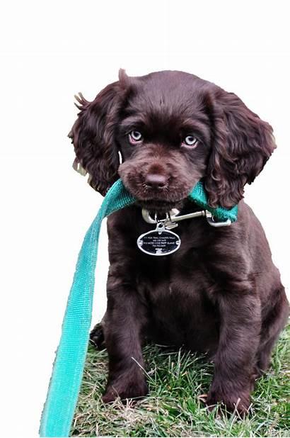 Puppy Boykin Spaniel Carolina Sc Camden Hunt