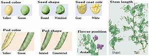 Different Seven Contrasting Traits Of Pea Plant Mendel