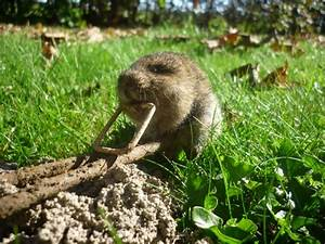 Piege A Rat Castorama : pi ges taupe ~ Voncanada.com Idées de Décoration