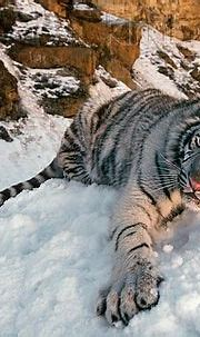 White Tiger Laying In Snow By Rocks Dusk (com imagens)