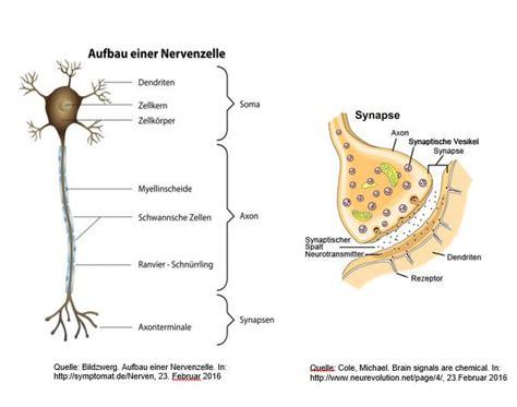 maronitsch f 246 rster on quot informationsaufnahme reiz weiterleitung im gehirn neuronen