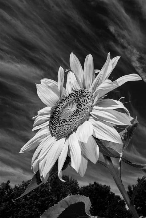 black  white sunflower