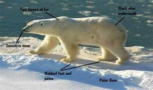 designeranimals - Polar Bear