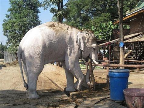 white elephant white elephant the animal life