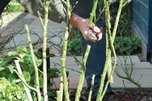 Taille De L Hibiscus : taille des hibiscus gamm vert ~ Melissatoandfro.com Idées de Décoration