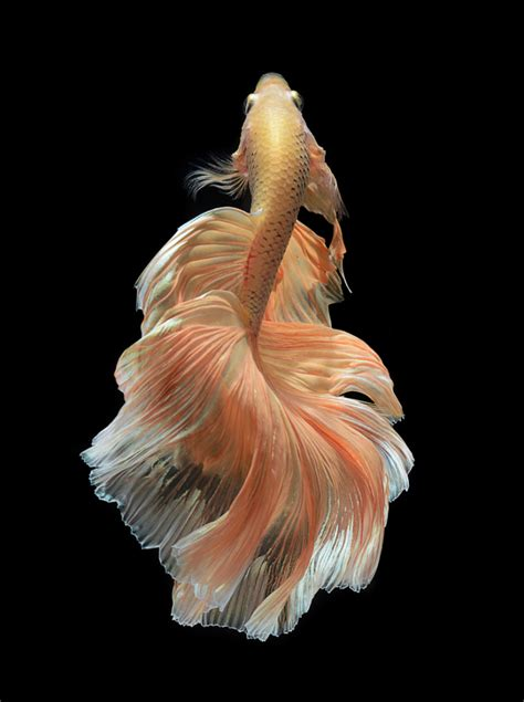 stunning portraits  siamese fighting fish